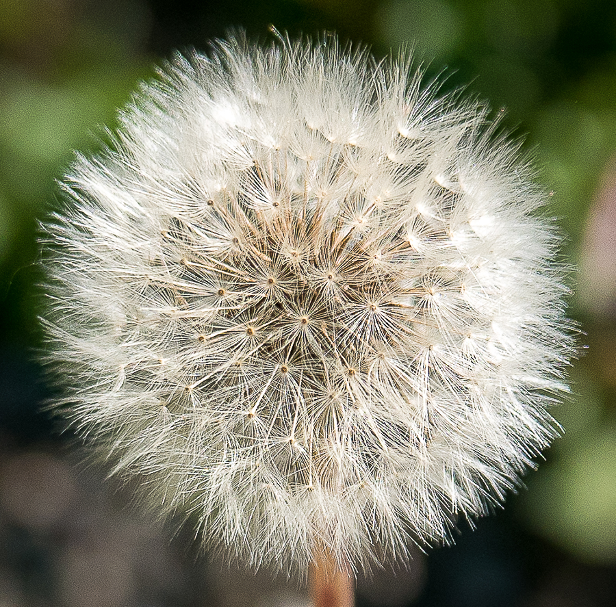 Paying attention: Dandelion
